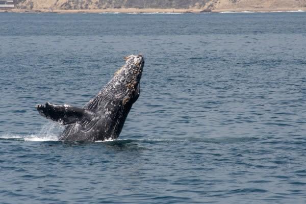 Madagascar Balena